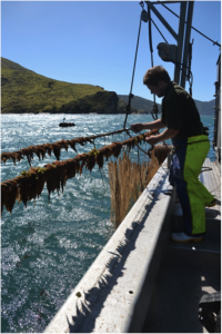 A mussel farmer in The Marlborough Sounds of New Zealand adjusts fine netting that catches the natural stocks of mussel larvae floating in the water. In Washington, many bays can no longer rely upon natural sources of shellfish larvae and have turned to hatcheries instead.