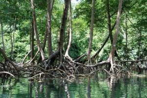 mangrove pic