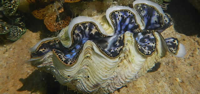 clam-live copy