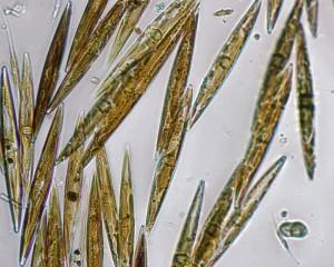 phytoplankton pseudonitzschia_